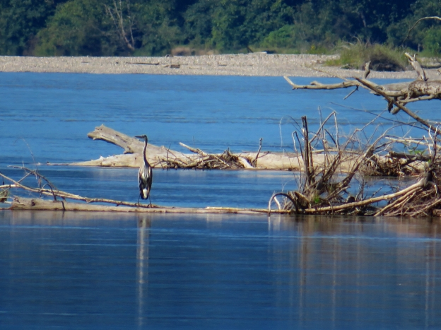 Blue Heron on an arm of the Fraser River about 100X zoom shot