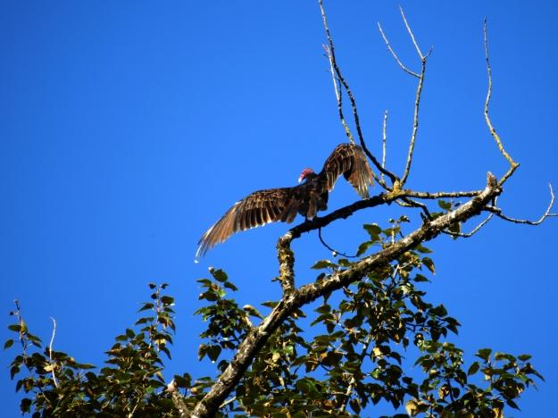 IMG_0301e-vulture1